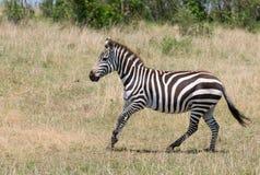 Running zebra, masai mara, kenya Royalty Free Stock Photos