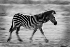 Running zebra with motion blur Stock Photo