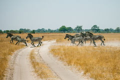 Running Zebras in Botswana Royalty Free Stock Image
