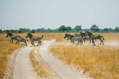Running Zebras in Botswana. Zebras is crossing the road in savanna of Botswana Royalty Free Stock Image