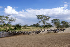 Running zebras with dust cloud. A group of zebras is running away from a pool thereby creating a dust cloud Stock Images
