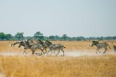 Running Zebras. Zebras is running in savanna of Botswana Stock Photos