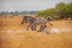 Running Zebras. Zebras is running in savanna of Botswana Royalty Free Stock Photography