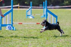 Running dog on its course in agility competition. Running Zwerg Schnauzer on its course in agility competition. Abstract dog sport background with copy space royalty free stock photos