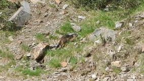 Runningin da marmota uma terra alpina video estoque
