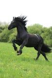 Runninng frison noir de cheval sur le pâturage Photographie stock libre de droits