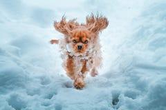 Runnung arrogante del perro de rey Charles Spaniel en invierno imagenes de archivo