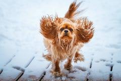 Runnung arrogante del perro de rey Charles Spaniel en invierno foto de archivo