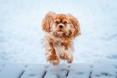 Runnung arrogante del perro de rey Charles Spaniel en invierno imagen de archivo