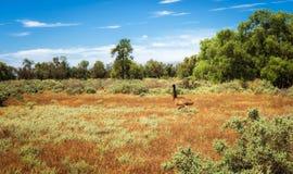 Runnung australiano del emú en Mungo National Park, Australia Foto de archivo libre de regalías