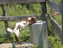 Runny Goat Standing Up to Take a Drink While Someone. Humorous scene of a goat standing and drinking while someone tries to hand it a leaf to eat Royalty Free Stock Images