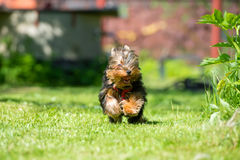 Runs. Puppy Yorkshire Terrier runs on the lawn Stock Images