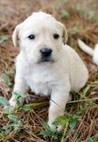 Runt del perro de perrito del golden retriever de la hembra de la litera Foto de archivo libre de regalías