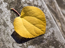 Runt gult blad Royaltyfria Foton