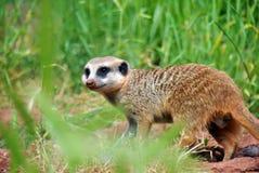 runt om att se meerkat Royaltyfri Bild