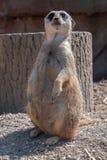 runt om att se meerkat Arkivbild