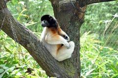 runt om backen hans lemur som ser sifaka Fotografering för Bildbyråer