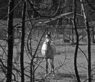 runt om horsing Arkivbild