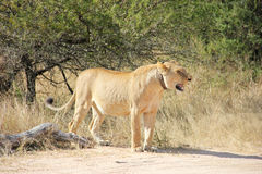 runt om kragen henne lionesshalsspåring Arkivbild