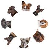 runt om stående för cirkelhundgrupp Fotografering för Bildbyråer