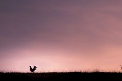 Ruolo alla prateria durante il tramonto Immagine Stock