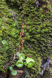 Rupestris. Umbilicus rupestris over wall of moss Royalty Free Stock Image