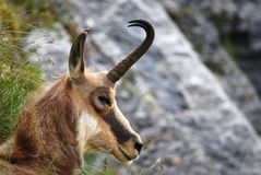 Rupicapra, asleep chamois. In the Alps, center of Europe Royalty Free Stock Photos