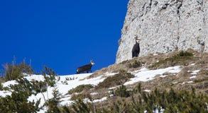 Rupicapra or chamois animal. Wild goat on the mountain Stock Photos