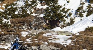 Rupicapra or chamois animal. Wild goat on the mountain Royalty Free Stock Images