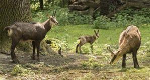 Rupicapra do rupicapra da cabra-montesa Karlsruhe, Alemanha fotos de stock royalty free