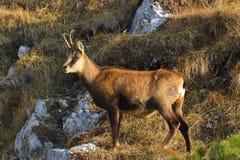 羚羊- rupicapra rupicapra 免版税库存照片