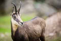 Rupicapra rupicapra del camoscio all'interno del suo habitat naturale Fotografie Stock