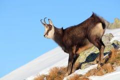 羚羊- rupicapra, Tatras 免版税库存照片