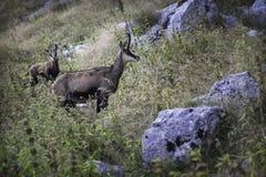 rupicapra valle парка orobie Италии шамуа brembana Стоковые Изображения RF