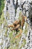 Rupicapra van Gemzenrupicapra in natuurlijke habitat stock afbeelding