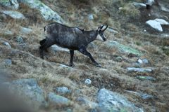 Rupicaprarupicapra Djurliv av Italien Höstnatur i bergen royaltyfria foton