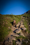 Rupicaprarupicapra over Berg Giewont Za wordt genomen die royalty-vrije stock afbeeldingen