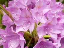 Rupicola de rhododendron Photographie stock libre de droits