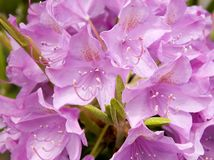 Rupicola do Rhododendron fotografia de stock royalty free