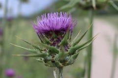从Rupite,保加利亚的一棵驴刺植物 免版税库存照片