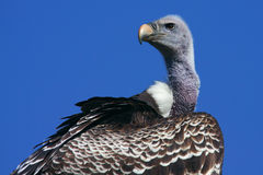 Ruppel's Griffon Vulture Royalty Free Stock Photography