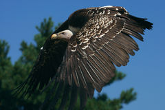 Ruppel's Griffon Vulture in flight Stock Image