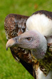 Ruppel's Griffon Vulture side view Stock Photo