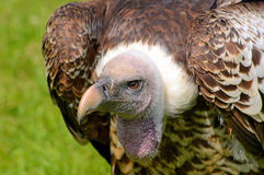 Ruppel's Griffon Vulture side view Royalty Free Stock Image