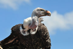Ruppel vulture against a blue sky Royalty Free Stock Photography