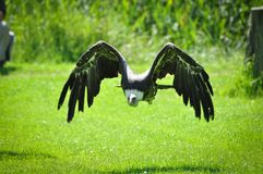 Ruppel vulture Stock Photography