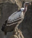 Ruppell& x27; s Griffon Vulture lizenzfreie stockfotos