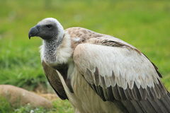 Ruppell's griffon vulture Royalty Free Stock Photos
