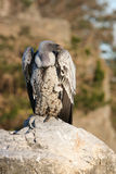 Ruppell's Griffon Vulture. (Gyps Rueppellii) sitting on boulder Stock Images