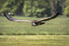 Ruppell`s griffon vulture Gyps rueppellii flying Stock Photos